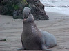 Central Coast : Elephant Seals near Hearst Castle; Morro Bay