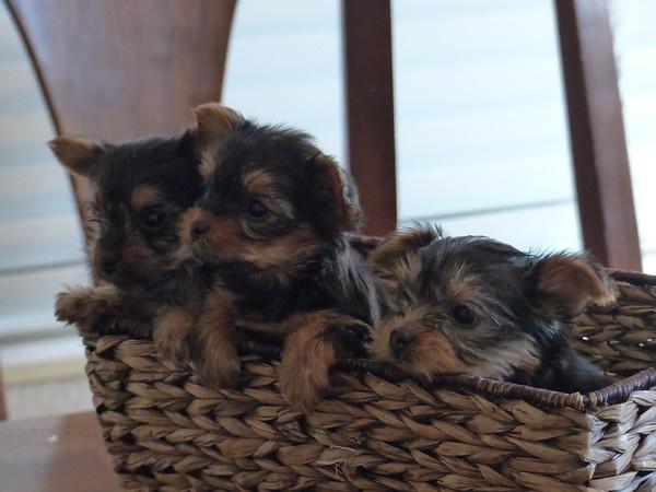Nickolena pups April 29, 2015